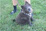 Picture of blue male chow puppy-max