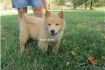 Picture of male chow puppy