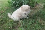Picture of cream male chow puppy-blue