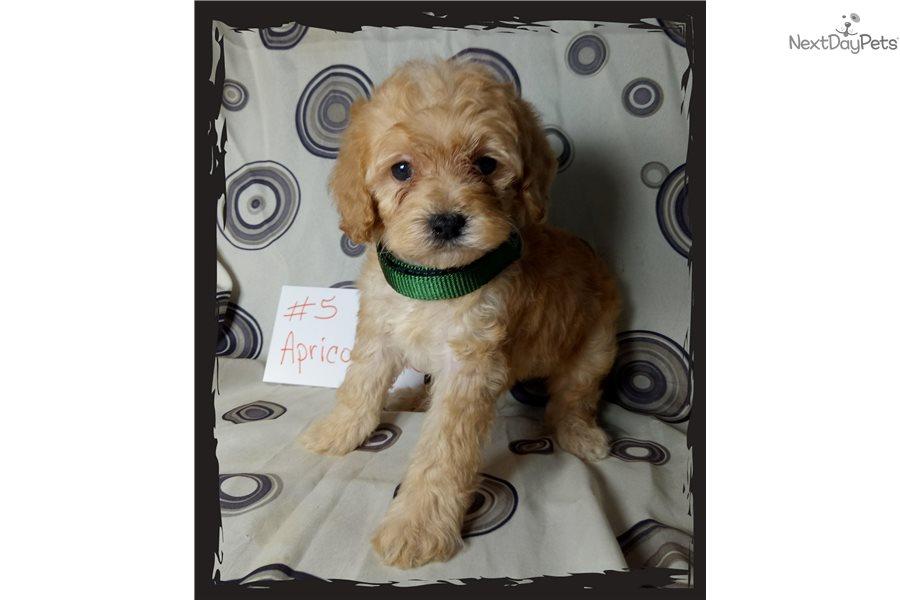 Luke Cockapoo Puppy For Sale Near Richmond, Indiana  9Cbda3Fa-F611-4370