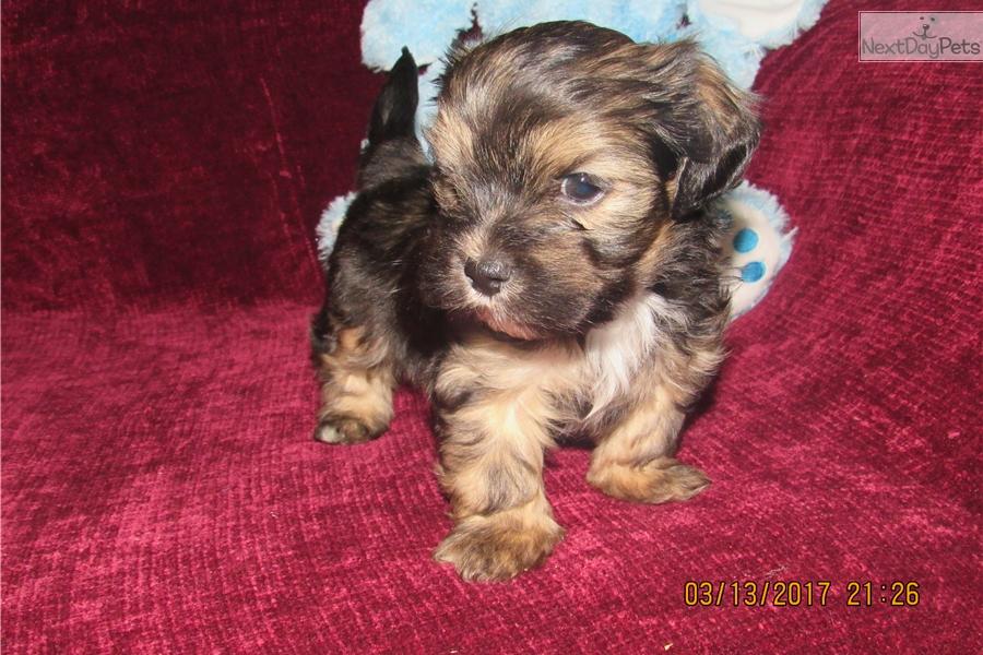 Tigger Yorkiepoo Yorkie Poo Puppy For Sale Near Akron Canton