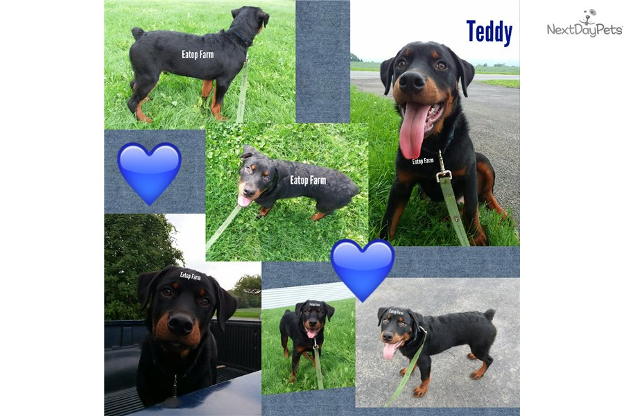 Teddy Rottweiler Puppy For Sale Near Syracuse New York D443fc71 F241