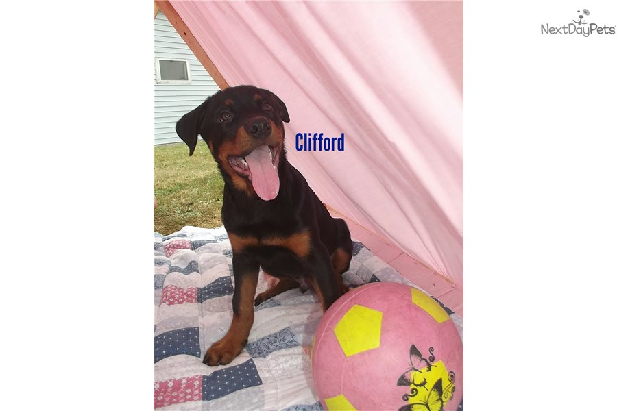 Clifford Rottweiler Puppy For Sale Near Syracuse New York