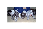 Picture of a German Wirehaired Pointer Puppy