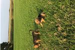 Picture of AKC Bloodhound puppies! One available!