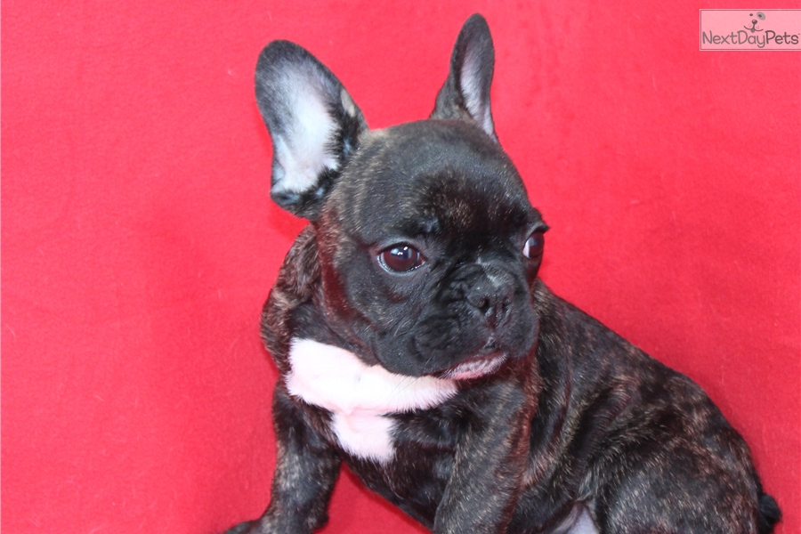 french bulldog breeders near me french bulldog puppy for sale near fort lauderdale 2723