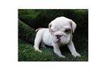 Picture of a Dandie Dinmont Terrier Puppy