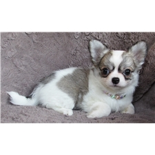 View full profile for Victory Acres Chihuahuas