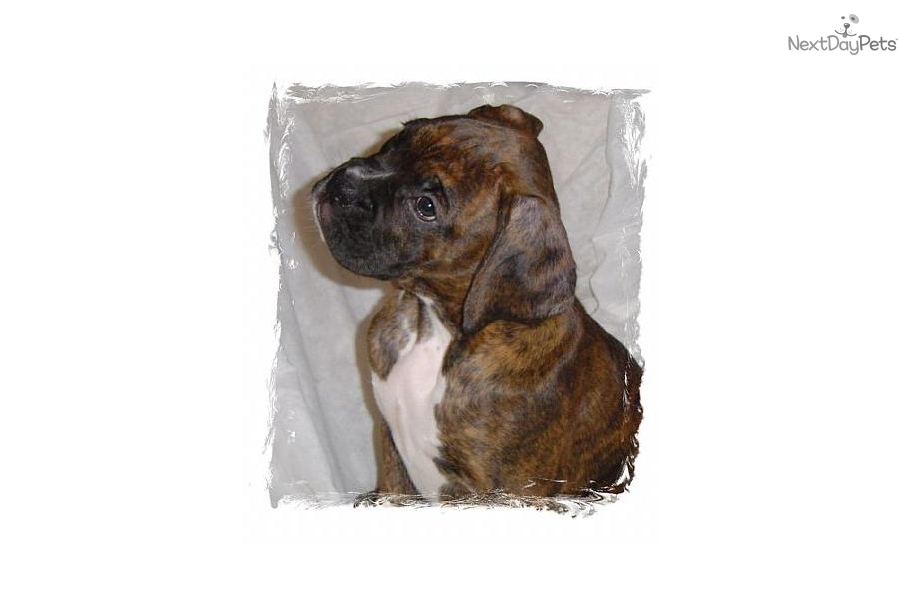 Puppies For Sale From A Z Boxer Company Member Since September 2007