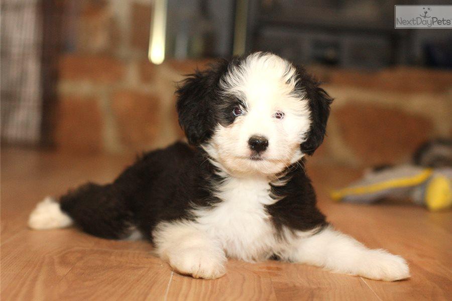 Hero Aussiedoodle Puppy For Sale Near Richmond Virginia