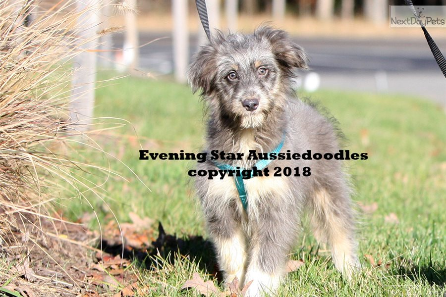 Juan Aussiedoodle Puppy For Sale Near Richmond Virginia