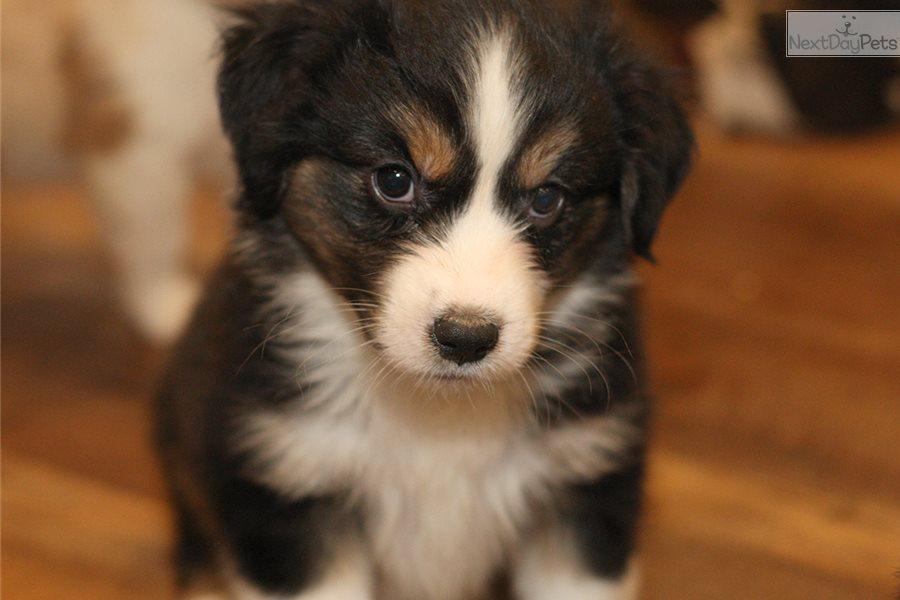 Starsky: Miniature Australian Shepherd puppy for sale near