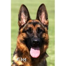 View full profile for Edgewood German Shepherds