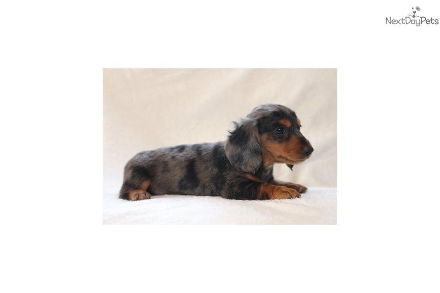 Brook Dachshund Puppy For Sale Near Grand Rapids Michigan