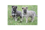 Picture of a Norwegian Elkhound Puppy