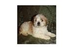 Picture of a Cockabichon Puppy