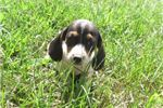 Picture of A puppy named Patches