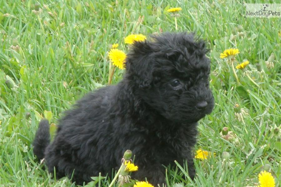 Puli puppy for sale near Kalamazoo, Michigan | b1ba6573-6901