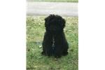 Picture of Champion bloodline unique silver factor puli puppy