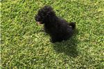 Champion bloodline unique silver factor puli puppy | Puppy at 46 weeks of age for sale