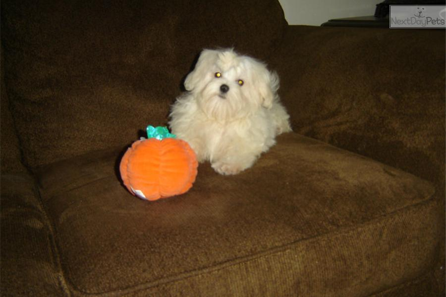 maltese puppies for sale in ky maltese puppy for sale near louisville kentucky 2698
