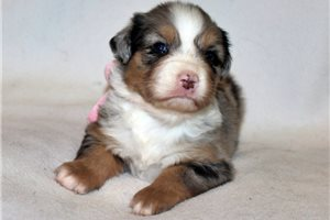 Picture of an Australian Mountain Dog Puppy