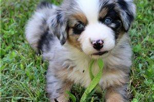 Australian Mountain Dogs for sale
