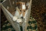 Picture of HILLTOP'S JANUARY PUP.S