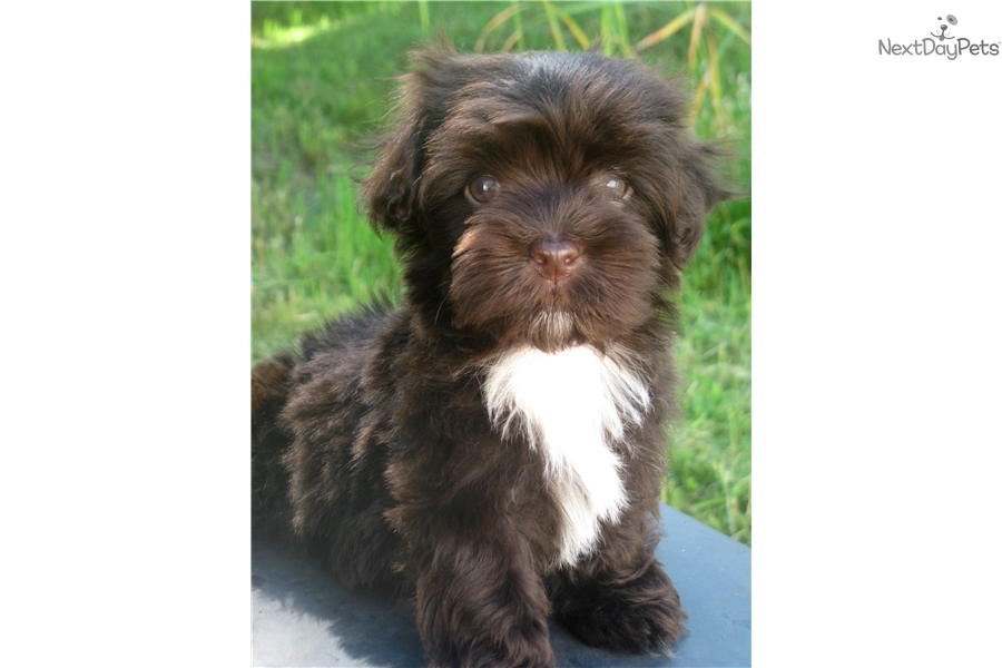 Akc Chocolate: Havanese puppy for sale near Buffalo, New