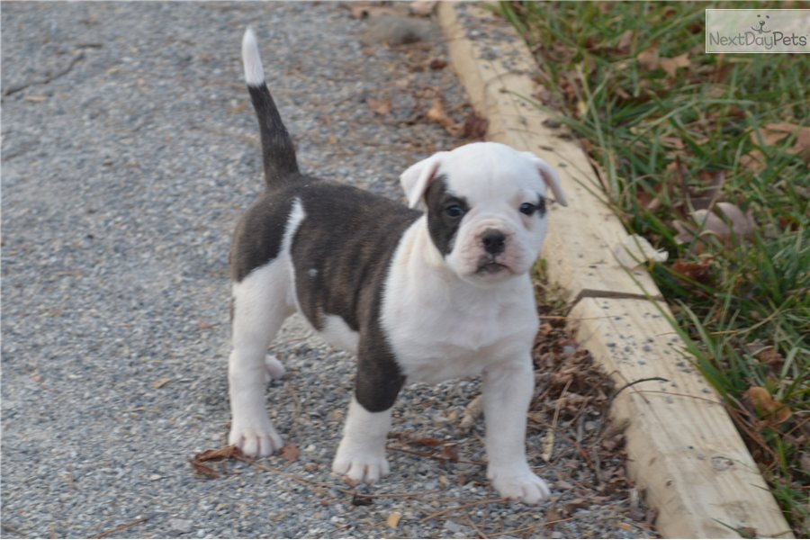 american bulldog cost american bulldog puppy for sale near new river valley 412