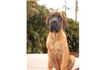 Picture of a Mastiff Puppy
