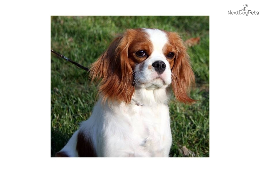 Something is. king charles spaniel adult for sale