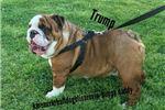 Picture of Beautiful Female AKC English bulldog Princess