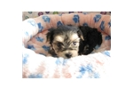Picture of a Morkie / Yorktese Puppy