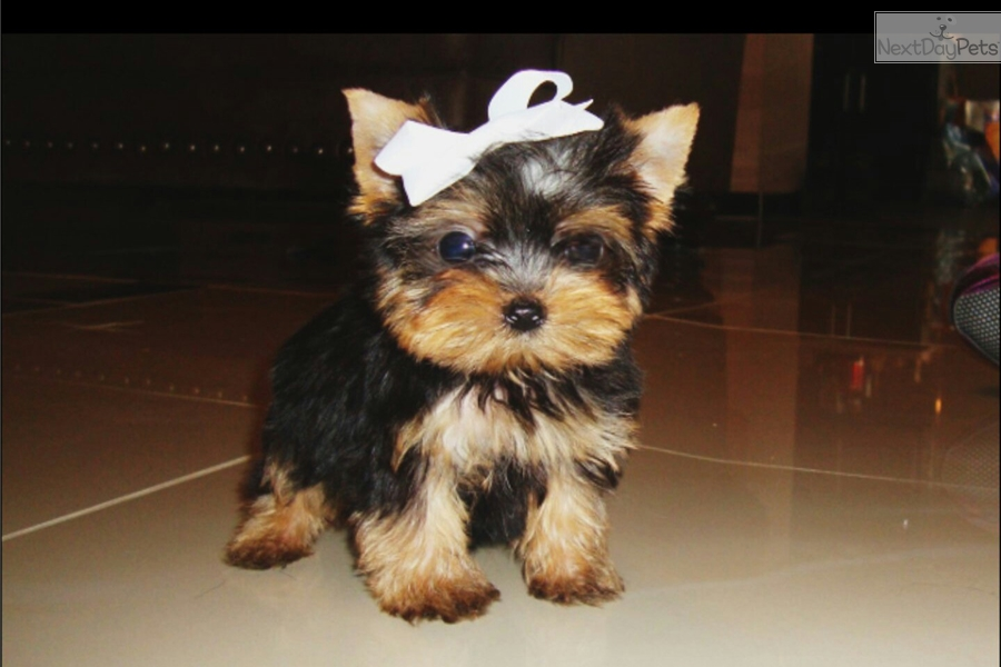 Yorkie puppies for sale in austin tx - Cascade river rafting