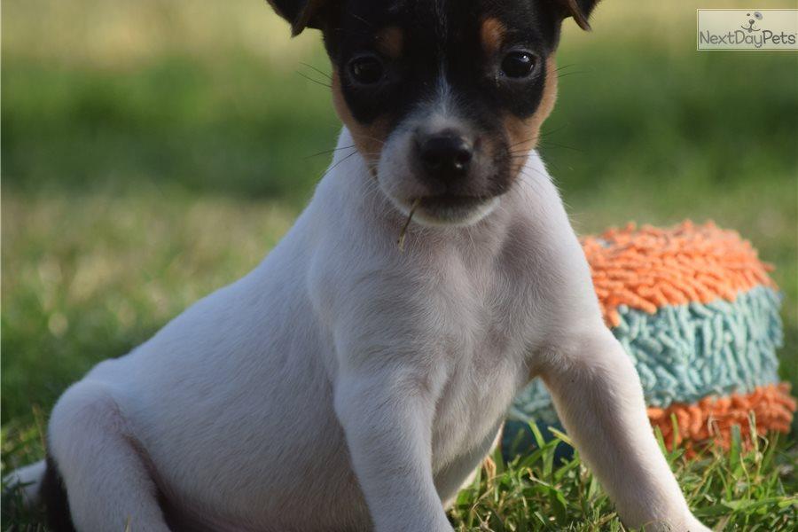 Waylon: Jack Russell Terrier puppy for sale near Inland