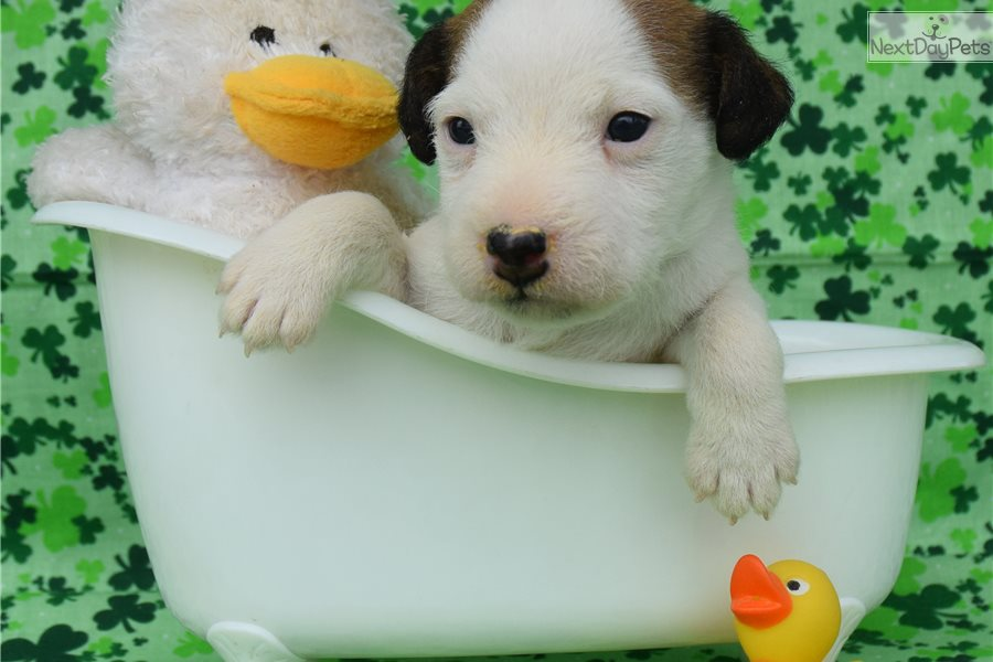 Lily: Parson Russell Terrier puppy for sale near Inland Empire ...