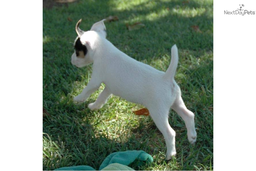 Jack Russell Terrier Puppy For Sale Near Orange County