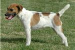 Picture of Imported 4x International Champion Sired JRT Girl!