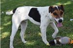 Picture of National Champion Sired Male JRT Puppy!