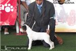 Picture of Champion Sired Rare White JRT Ready Now!