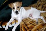 Picture of Champion Sired Long Leg Smooth Coat Jack Russell!
