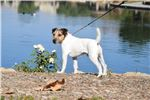 Picture of Champion Sired Smooth Coat Long Leg JRT Boy!