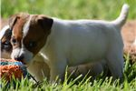 Picture of Champion Sired Long Leg JRT Pup- Ready Now!