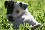 Picture of Champion Sired Rare Black/white Jack Russell Pup