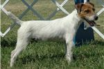 Picture of Champion Sired Parson Russell Female Puppy
