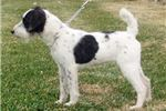 Picture of Champion Sired Parson Russell Female Pup