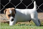 Picture of Imported International Champion Sired PRT Puppy
