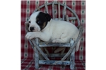 Picture of a Parson Russell Terrier Puppy