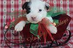Picture of Champion Sired Parson Puppy Ready 4 Christmas
